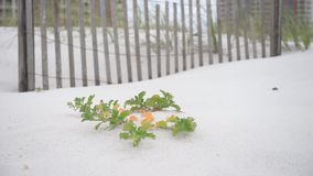 Empty beach with fence and green flower and leaves on Pensacola beach, Florida. stock video footage
