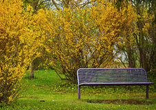 Empty bench at park with yellow forsythia flowers Stock Photos