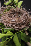 Empty Bird Nest. An empty bird nest with tree branches and black background Royalty Free Stock Image