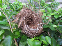 Empty bird nest. On cherry tree Stock Photos