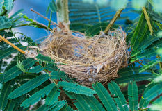 Empty bird nest with tree branches Stock Images