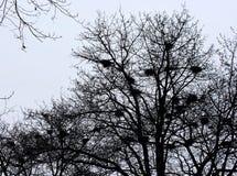 Empty bird nests. Many empty bird nests on the leafless tree in winter Royalty Free Stock Photos