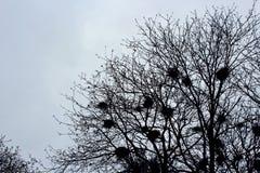 Empty bird nests. Many empty bird nests on the leafless tree in winter Royalty Free Stock Photo
