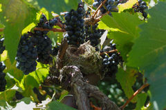 Empty Bird`s nest among black grapes and grapevine Stock Image