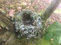 Moss covered empty bird nest in a tree royalty free stock images