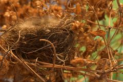 An empty bird`s nest in a thicket of hops royalty free stock images