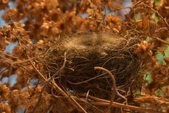 An empty bird`s nest in a thicket of hops royalty free stock photography