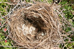 Empty birds nest. Closeup of an empty birds nest containing broken shells Royalty Free Stock Image