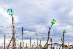 empty bottles on rows of vines Royalty Free Stock Image