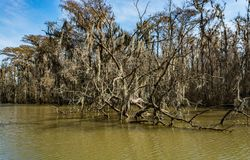 Empty branches of cypress trees in the swamps of Louisiana. Empty cypress trees in the swamps near New Orleans, Louisiana during the autumn season Royalty Free Stock Image