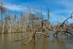 Empty branches of cypress trees in the swamps of Louisiana. Empty branches of cypress trees in the swamps near New Orleans, Louisiana during the autumn season stock image