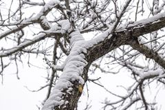 Empty branches of tree in winter. Covered with the white snow at morning royalty free stock images