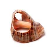 Empty broken rapana shell Stock Photo