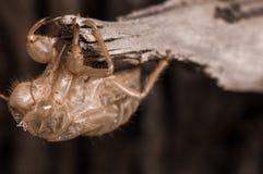 Empty chrysalis cicada Stock Image