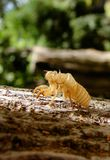 Empty Cicada cocoon hanging after metamorphosis. Keratin remaining after cicada metamorphoses on the bark of a tree Royalty Free Stock Photo