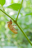 Empty cicada shell Stock Image