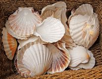 Scallop Shells. Royalty Free Stock Photos