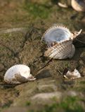 Empty Cockle Shells Stock Image