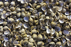Empty Cockle Shells royalty free stock photo