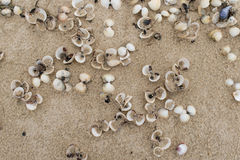 Empty cockle shells on a beach Stock Photo
