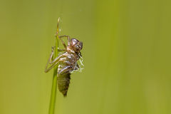 Empty cocoon left by New born Dragonfly Royalty Free Stock Image