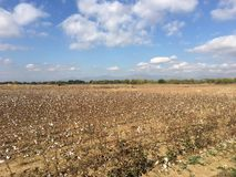 Empty cotton flower field. In Greece royalty free stock photos