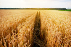 Empty countryside road through fields with wheat Royalty Free Stock Photos