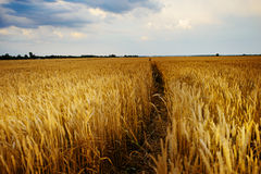 Empty countryside road through fields with wheat Royalty Free Stock Photography