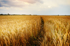 Empty countryside road through fields with wheat Stock Images