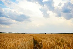 Empty countryside road through fields with wheat Royalty Free Stock Image