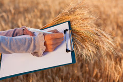 Empty document and ears wheat in women's hands Stock Photo