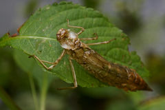 Empty dragonfly larva Stock Photos