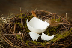 Empty egg in nest. Empty eggshells lying in an abandoned nest Stock Image
