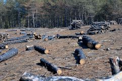 Empty forest glade after fire and cutting Royalty Free Stock Image