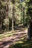 empty forest path between big spruce trees. stock images