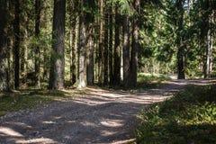 An empty forest path through a thick fir forest stock photo