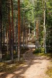 Empty forest path which goes to a larger gravel forest path. A sunny day in the forest, a new pine forest and a narrow, winding forest path; empty forest path stock images