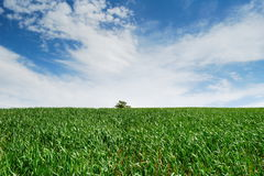 Empty green wheat field Stock Photos