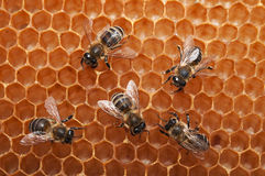 Empty honeycomb with bees Stock Photo