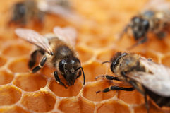 Empty honeycomb with bees Royalty Free Stock Photography