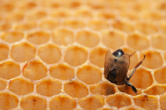 Empty honeycomb with bees Royalty Free Stock Photos