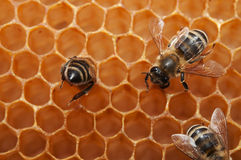 Empty honeycomb with bees Royalty Free Stock Photo