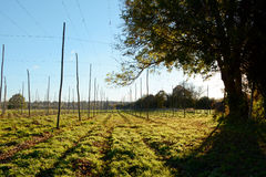 Empty hop garden after harvest Royalty Free Stock Photos