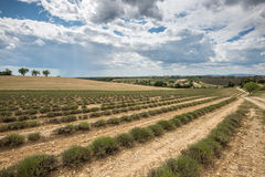 Empty lavender fields of Provence after harvesting Royalty Free Stock Photo