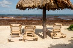 Tourists are staying away from a beach invaded with seaweed. Empty long chairs as tourists are staying away from a beach invaded with Sargassum seaweed royalty free stock photo