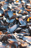 Empty Mussel Shells Stock Image