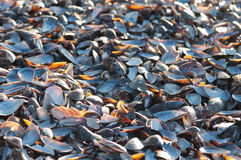 Empty Mussel Shells Royalty Free Stock Images