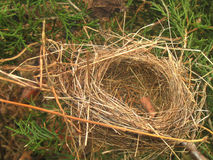 Empty nest. Birds nest in an evergreen tree without eggs Royalty Free Stock Photos