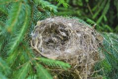 Empty nest of a bird. From dry grass on a spruce branch Royalty Free Stock Photo