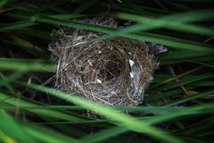 Empty Nest. Empty birds nest hidden in long grass Royalty Free Stock Images